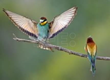 European bee-eaters head further north to breed as global temperatures rise