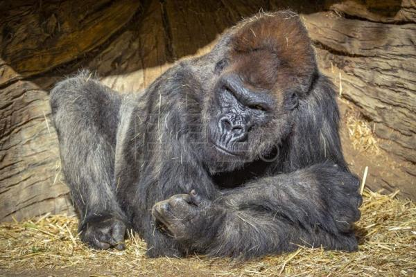 Gorillas at San Diego Zoo Safari Park test positive for Covid-19