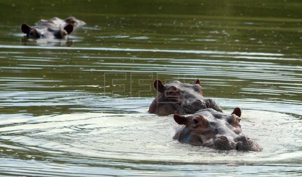 Drug lord Pablo Escobar's escaped hippos multiply in Colombia