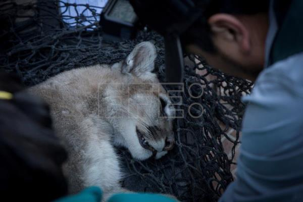 Puma found roaming Chilean capital during COVID-19 curfew returns to Andes