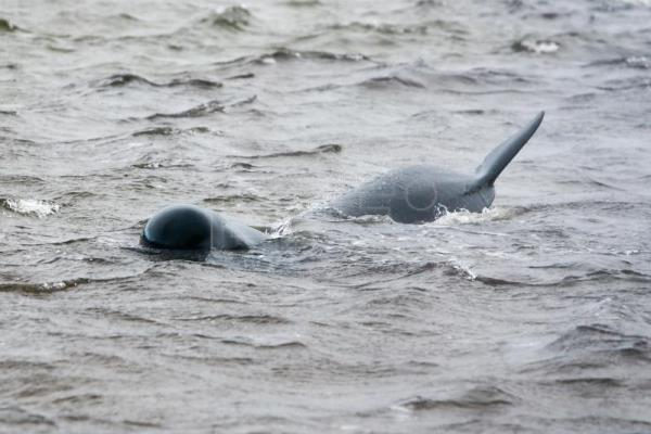 94 pilot whales refloated in Tasmania, some re-strand