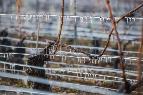 French winemakers struggle to protect crops from frost wave