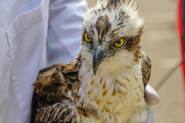From Finland to Kenya, an osprey's 7,000 km voyage