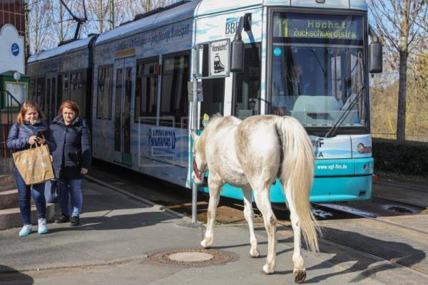 Horse in Germany enjoys going for strolls through city alone