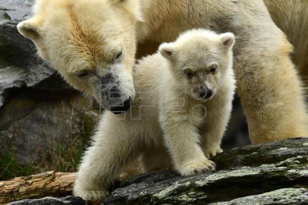Polar bear cub goes outside for 1st time at zoo in Germany