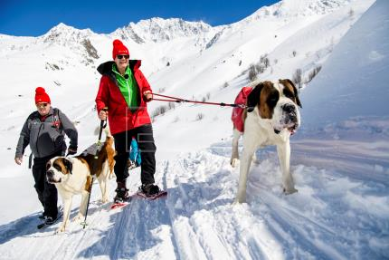 Swiss dogs continue rescuing travelers across the Saint Bernand Alpine pass