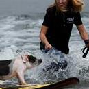 Pickles the pig makes a cameo surf appearance during the World Dog Surfing Championships at Linda Mar Beach in Pacifica, California, USA, Aug 5, 2017. EPA/JOHN G. MABANGLO