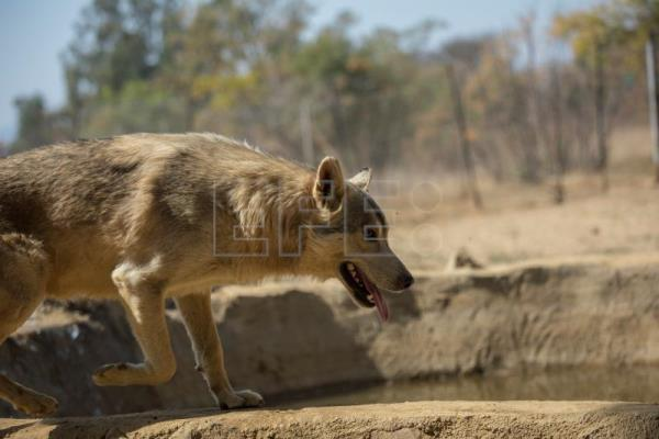 Canadian wolf pack thrives in South African sanctuary