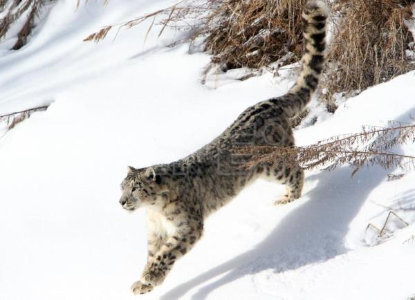 Humans Threaten The Existence Of Snow Leopards Science Technology English Edition Agencia Efe