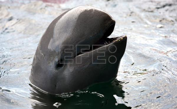 (FILE) Picture made available 03 February 2016 shows an Irrawaddy dolphin, with its distinctive rounded-head and side teeth that makes it appear to be 'smiling', at Pattaya Dolphin World, south-east of Bangkok, Thailand, 08 August 2014. The dolphins, found in south and south east Asia are coming under continuing threat. In the Mekong river population, only between 78 to 91 individuals remain in a stretch between Laos and Cambodia. Illegal fishing and plans for the Don Sahong dam across the Mekong river in nearby upstream Laos, are among continuing threats to the vulnerable population, classified as critically endangered, according to environmentalists. EPA/BARBARA WALTON