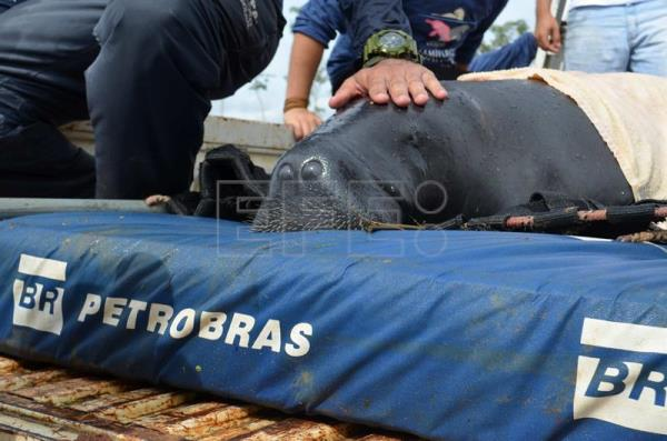Brazil successfully completes record Amazonian manatee reintroduction program