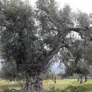 An olive grove in the Alpujarra valley, near Órgiva, Spain, Feb. 10, 2018. EFE/J.J. Guillen