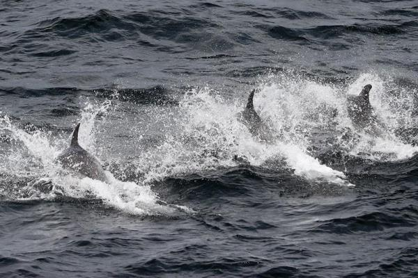 An undated photograph showing endangered tucuxi dolphins (Sotalia guianansis) swimming in Sepetiba Bay, located in Brazil's Rio de Janeiro state. EFE FILE