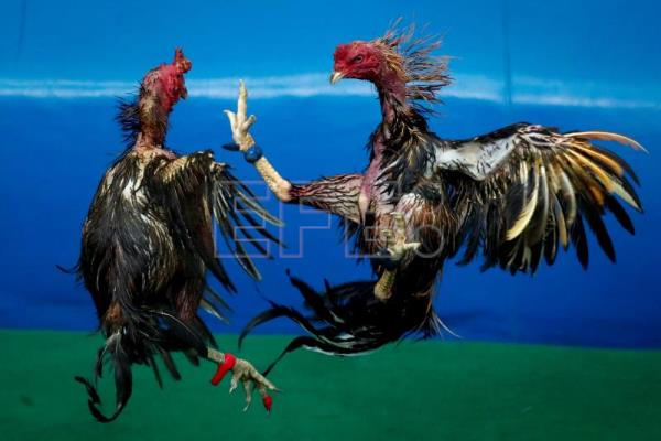 Cockfighting rakes in millions in Thailand