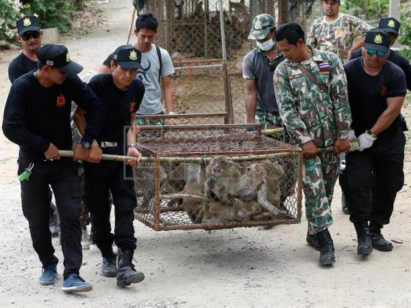 Thai National Park officials move cages filled with monkeys after they were caught for sterilization in a bid to control the birth rate of the monkey population near Hua Hin city, Prachuap Khiri Khan Province, Thailand, Jul. 15, 2017. EPA/NARONG SANGNAK