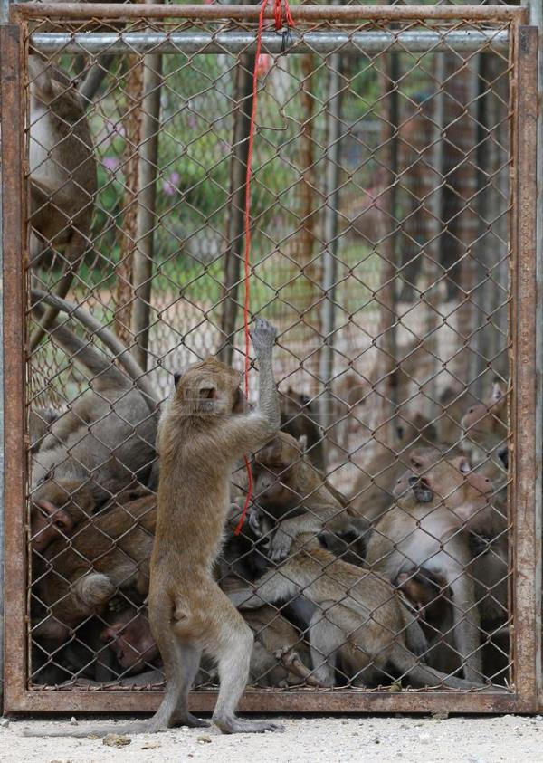 A monkey who escaped being caught looks at others in the cage before being moved for sterilization in a bid to control the birth rate of the monkey population in Hua Hin city, Prachuap Khiri Khan Province, Thailand, Jul. 15, 2017. EPA/NARONG SANGNAK