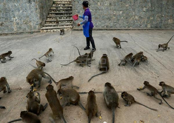 A Thai woman feeding monkeys at Wat Khao Takiab temple, before Thai National Park officials caught them for sterilization in a bid to control the birth rate of the monkey population near Hua Hin city, Prachuap Khiri Khan Province, Thailand, Jul. 15, 2017. EPA/NARONG SANGNAK