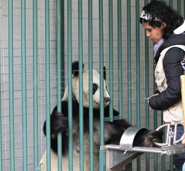 World's only non-Chinese-owned giant pandas reach advanced age in Mexico City