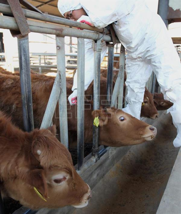 S korea culls almost 200 cows confirms foot and mouth disease south koreas quarantine authorities vaccinate cattle against foot and mouth disease fmd publicscrutiny Gallery