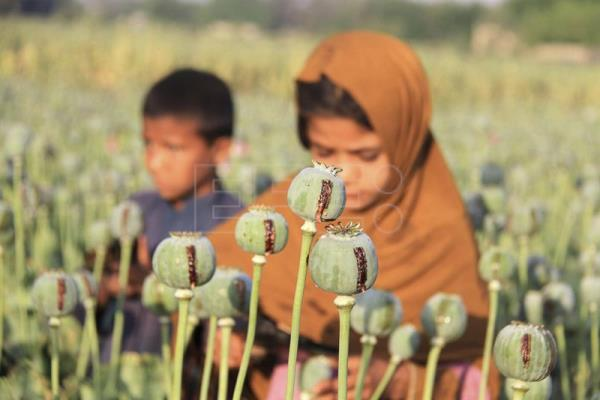 Macedonian experts see opium poppy as solution to economic woes.