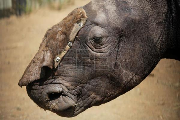 Three-year-old White male Rhino Wasinda stands alone in a boma with a temporary hid covering his open wounds prior to being treated by Saving the Survivors vets at a private game farm in the Free State Province, Clocolan, South Africa, 19 September 2017. EPA-EFE FILE/KIM LUDBROOK