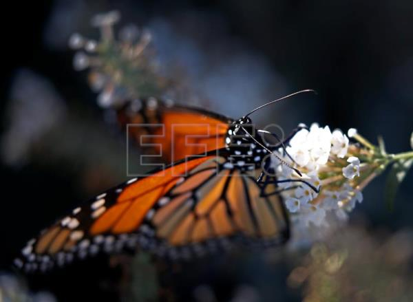 A monarch butterfly sits on a flower in Dallas Texas USA 16 November & Mexico to open sanctuaries for monarch butterflies to hibernate ...