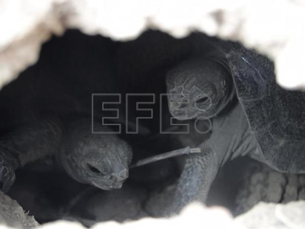 Tortoises being born once again on Galapagos Islands after rats exterminated