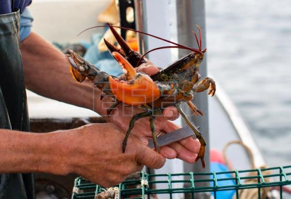 Lobster fisherman Chipper Zeiner uses a gauge to measure the length of a lobster he pulled from one of his pots off the coast of Kennebunk, Maine, USA, 27 June 2018. EPA-EFE/CJ GUNTHER
