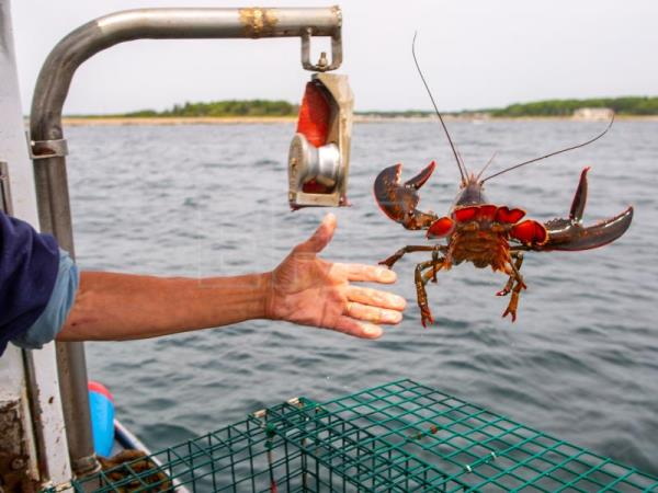 Lobster fisherman Chipper Zeiner returns a female lobster pulled from one of his traps off the coast of Kennebunk, Maine, USA, 27 June 2018. EPA-EFE/CJ GUNTHER