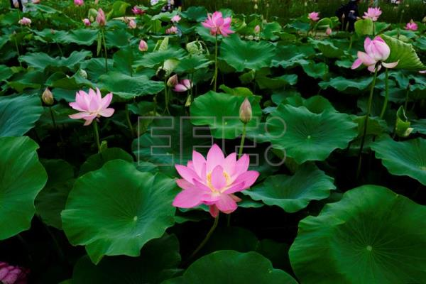 South Korea Erupts In Color With Lotus Flowers In Full Bloom Life