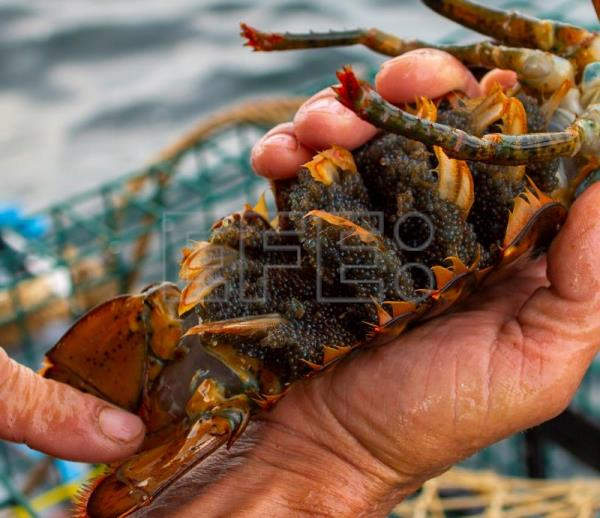Lobster fisherman Chipper Zeiner exposes the eggs of a female lobster pulled from one of his traps off the coast of Kennebunk, Maine, USA, 27 June 2018. EPA-EFE/CJ GUNTHER