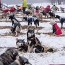 Dogs wait for the start after the overnight bivouac at the Sedivackuv Long 2019 sled dog race near the Czech-Polish border in the Orlicke mountains, around the village of Destne v Orlickych horach, Czech Republic, Jan. 26, 2019. EPA-EFE/MARTIN DIVISEK