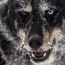 A dog rests during the Sedivackuv Long 2019 sled dog race near the Czech-Polish border in the Orlicke mountains, around the village of Destne v Orlickych horach, Czech Republic, Jan. 25, 2019. EPA-EFE/MARTIN DIVISEK
