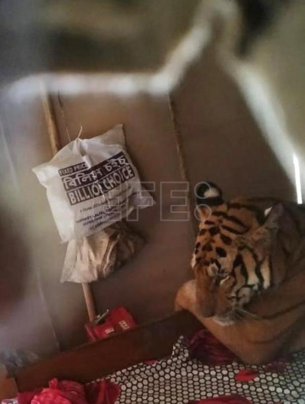 Tired tiger takes nap in resident's bed in a flooded area of Assam