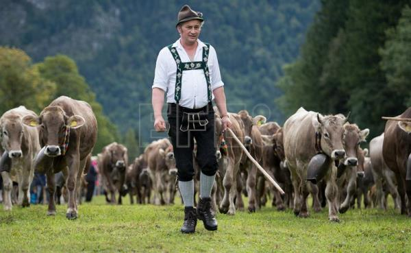 Allgau herdsmen drive their cattle during the 'Allgaeu Viehscheid' cattle drive in Bad Hindelang, Germany, Sept. 11, 2017. EPA-EFE/DANIEL KOPATSCH