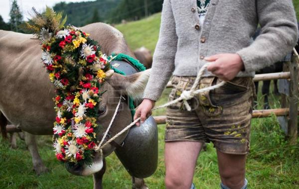 A cow is prepared for the 'Allgaeu Viehscheid' cattle drive in Bad Hindelang, Germany, Sept 11, 2017. EPA-EFE/DANIEL KOPATSCH