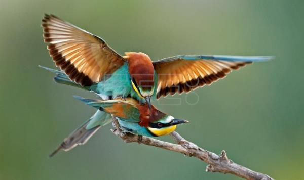 european bee eaters head further north to breed as global