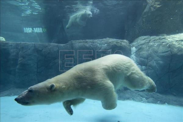Brazil's first-ever polar bears to make public debut