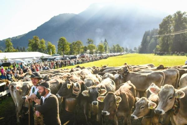 Cattle driven down the Alps for winter