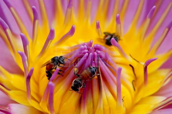 A picture made available on 24 February 2016 shows dwarf honey bees drinking nectar from a lotus flower in Bangkok, Thailand, 20 February 2016. EPA/DIEGO AZUBEL