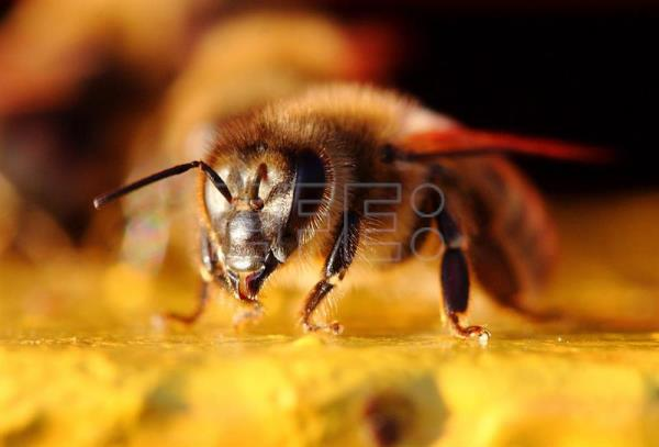 A bee is seen at the entrance of a beehive in a small apiary in the village of Jankowo Przygodzkie , western Poland, 09 October 2014. EPA/TOMASZ WOJTASIK [POLAND OUT]