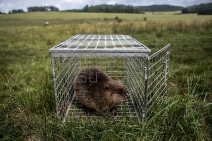 Czech researchers study beaver activity for greater insight into behavior
