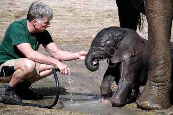 Newborn baby elephant integrating well with herd at zoo in Germany