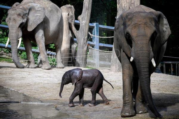 Newborn Baby Elephant Integrating Well With Herd At Zoo In Germany Science Technology English Edition Agencia Efe
