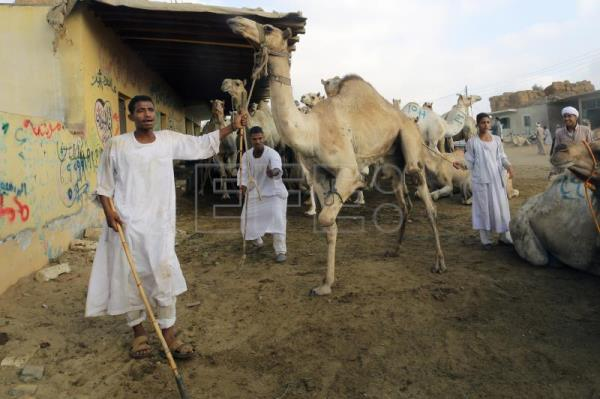 Camels treated cruelly in Egypt's main market despite activists' outcry