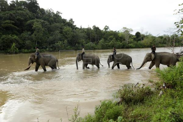 Tame elephants mediate between humans, wild elephants in Indonesia's Aceh