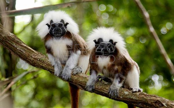 File photo of cotton-top tamarins, an endangered monkey found only in the Caribbean region of Colombia, where environmentalist Rosamira Guillen leads a project to preserve the species from extinction. EFE/Lisa Hoffner/Cotton-top Tamarin Foundation