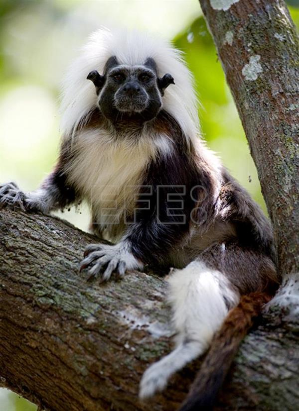 File photo of a cotton-top tamarin, an endangered monkey found only in the Caribbean region of Colombia, where environmentalist Rosamira Guillen leads a project to preserve the species from extinction. EFE/Lisa Hoffner/Cotton-top Tamarin Foundation