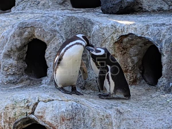 Gay penguin couple, the San Francisco Zoo's perfect parents