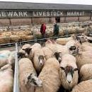 Buyers look at sheep waiting in pens ahead of auction at Newark Livestock Market in Newark-on-Trent, Nottinghamshire in the East Midlands of England, Britain, 02 March 2019. EPA-EFE/VICKIE FLORES